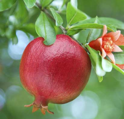 For a rich and healthy life, eat pomegranate in daily routine