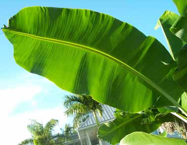 Banana leaf is effective in reducing lower abdomen pain