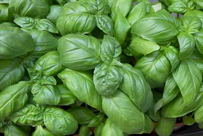 Basil leaves have caffeic acid which prevents menstrual cramps