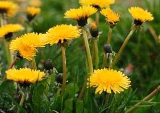 dandelion-stem-flower