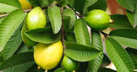 Health benefits of guava Leave