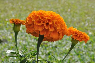 Marigold pack renews the skin cells and adds glow to the skin