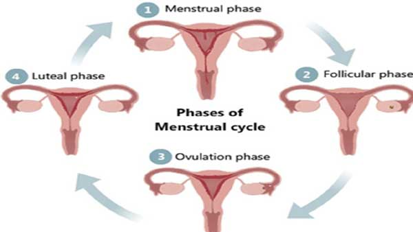 Menstrual Cycle Can be Divided into Following Phases