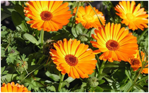 Calendula has natural oils that keeps the skin soft and supple