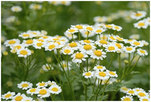 Chamomile has nourishing properties that prevents dry skin