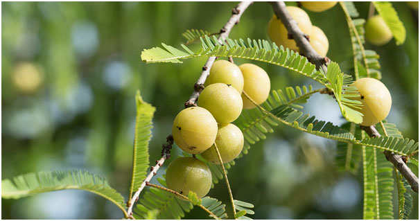 Indian gooseberry To Improve Your Digestion