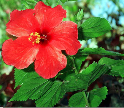 A Few Tips With Hibiscus