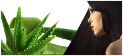 Aloe vera gives a soothing effect to scalp and increases blood circulation
