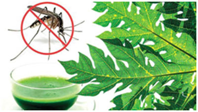 Papaya leaf juice helps in treating dengue fever and prevents its symptoms