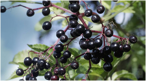 Elderberry to Get Reduce For Hand, Foot And Mouth Disease