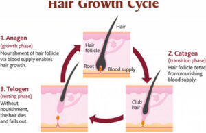 life cycle of a hair