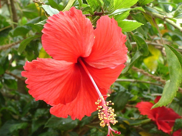 Surprising Health Benefits of Hibiscus