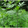 Heard About Mugwort? Let's Know About Its Powerful Properties