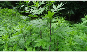 What is Mugwort???